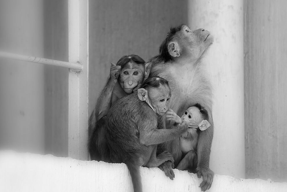 simian family small